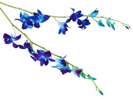 blue violet bright:  deep purple orchid flowers branch on a white background