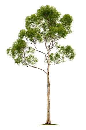 Green beautiful and tall tree isolated on white background Stock Photo - 14235797