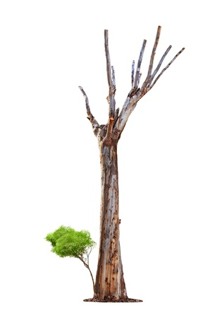 Single old and dead tree and young shoot from one root isolated on white background.Concept death and life revival. photo