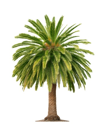Green beautiful palm tree isolated on white background  photo