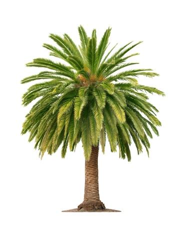 feuille arbre: Vert beau palmier isolé sur fond blanc Banque d'images