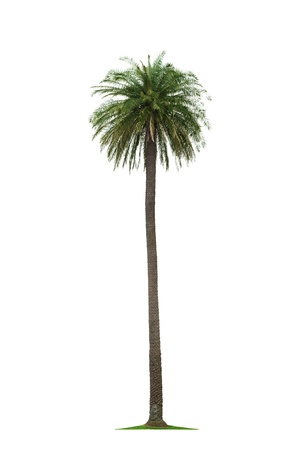 date palm tree: beautiful tall coconut palm tree isolated on white background Stock Photo