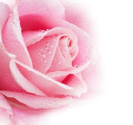 美しいピンク バラの花を削除します。浅いフォーカス