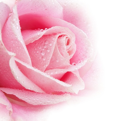dews: Beautiful pink rose flower with drops.Shallow focus