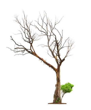 dode bladeren: Enkele oude en dode boom en jonge scheut van een wortel op wit wordt geïsoleerd background.Concept dood en leven opwekking. Stockfoto
