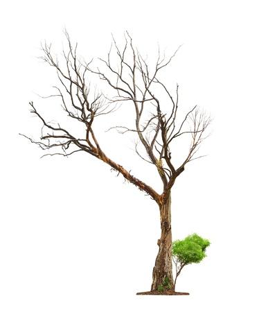 arboles secos: Solo árbol viejo y muerto y brote joven de una raíz aislada en blanco background.Concept muerte y renacimiento vida.