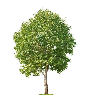 single tree: Green beautiful and young eucalyptus tree isolated on white background Stock Photo