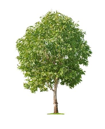 arboles frondosos: Verde eucalipto hermoso y joven árbol aislado sobre fondo blanco