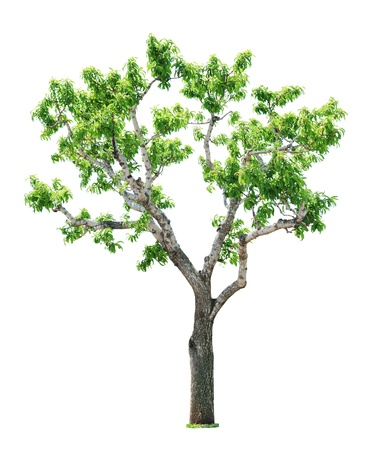Green beautiful and young  tree isolated on white background Stock Photo - 16325768