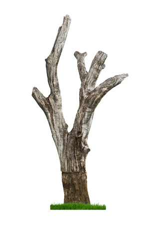 dead wood: Single old and dead tree and fresh grass isolated on white background. Stock Photo