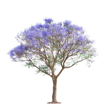 beautiful blooming Jacaranda tree isolated on white background photo