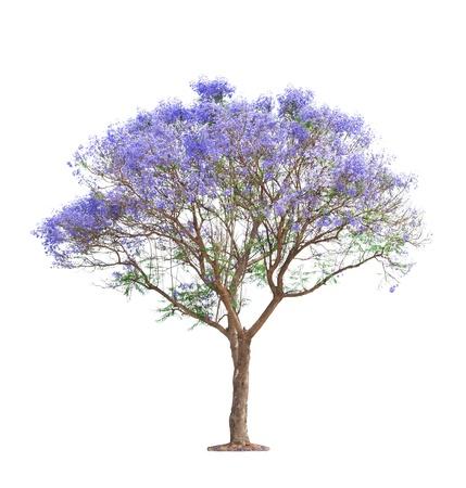 beautiful blooming Jacaranda tree isolated on white background