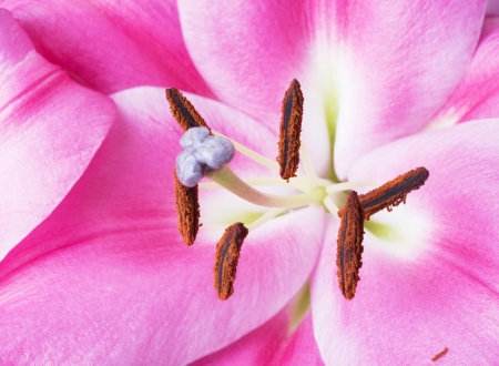 lilia: Beautiful pink lily flower with stamens closeup shot