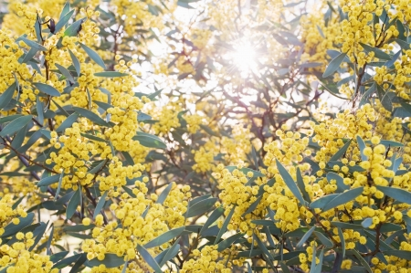 wattle: Australian Wattle blooms on natural background Stock Photo
