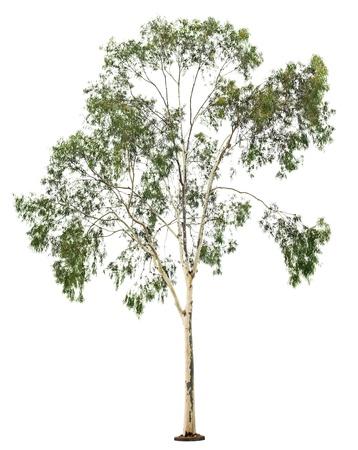 Green beautiful  eucalyptus tree isolated on white background Stock Photo - 18465132