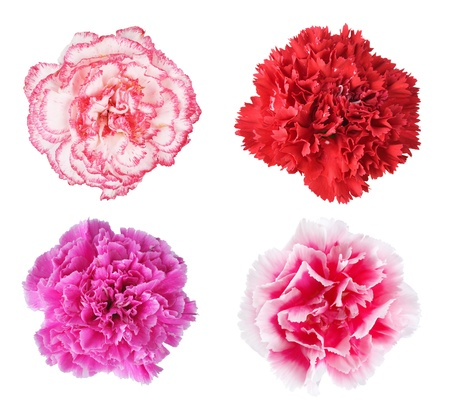 Beautiful multicolored carnations isolated on white background photo