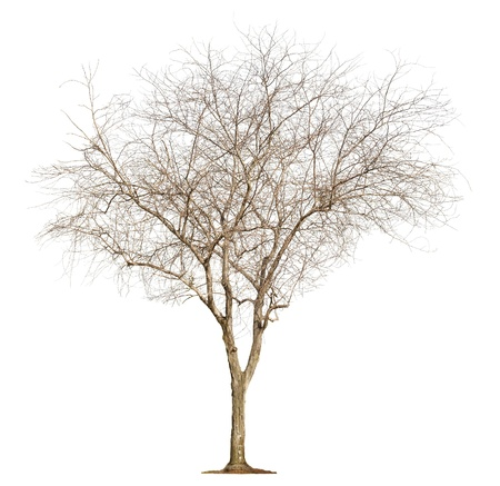 Single old and leafless tree isolated on white background photo