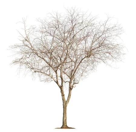 arboles secos: Solo �rbol viejo y sin hojas aisladas sobre fondo blanco Foto de archivo
