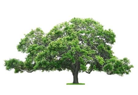 arboles frondosos: Árbol verde hermoso y grande aislada en el fondo blanco