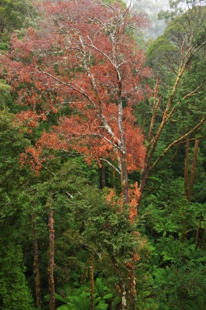 Rainforest in the rain from the Tree Top Walk of Otway Fly up to 30 meters above ground level,Great Ocean Road, Australia photo