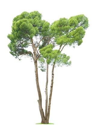 白い背景上に分離されて緑の美しい、背の高い木