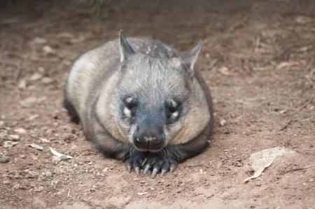 wombat: nativo australiano Wombat miente y que mira hacia fuera para algo Foto de archivo