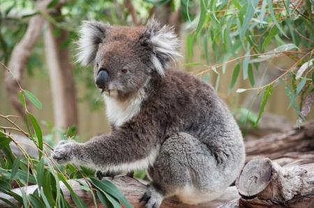 Koala Sitzt Auf Dem Baum Und Isst Ein Blatter Lizenzfreie Fotos