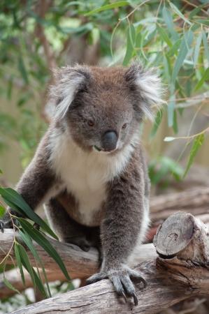 Koala Phascolarctos Cinereus Essen Eukalyptus Blatter Lizenzfreie
