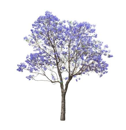 美しい開花ジャカランダの木は、白い背景で隔離 写真素材
