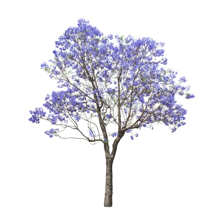 beautiful blooming Jacaranda tree isolated on white background