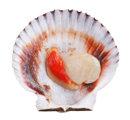 scallop: Fresh opened scallop shell isolated on white background