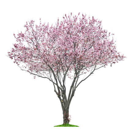 분홍색 꽃이 만발한 sacura 트리 흰색에 격리