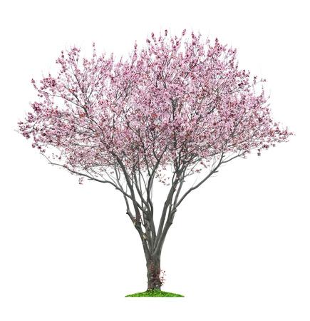 bloeiende roze sacura boom geïsoleerd op wit Stockfoto