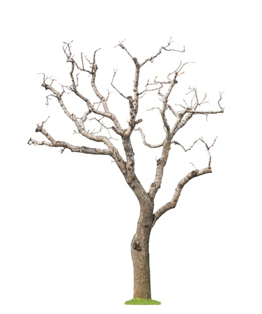 Old pruned tree with new young leaves and buds Concept life revival and spring Isolated  Banque d'images
