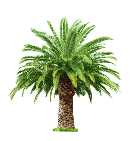 date palm tree: Green beautiful palm tree isolated on white background
