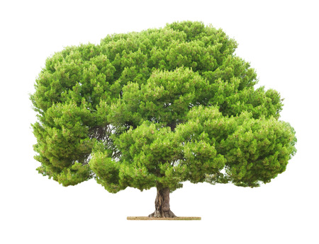big tree: Green beautiful and big tree isolated on white background