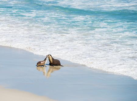 Pair of  sea lions at Seal Bay, Kangaroo Island, South Australia