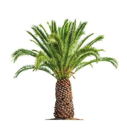 Vert beau palmier isolé sur fond blanc Banque d'images - 29496158