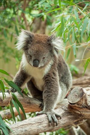 koala bear: native Australian Koala bear eating eucalyptus leaves