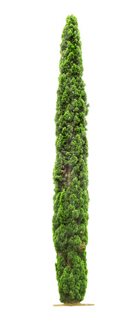 Green beautiful Cypress tree isolated on white background  写真素材