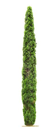 흰색 배경에 고립 된 녹색 아름다운 사이프러스 나무