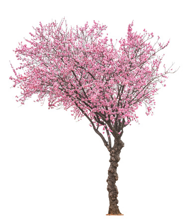 blossoming pink sacura tree isolated on white background 스톡 콘텐츠