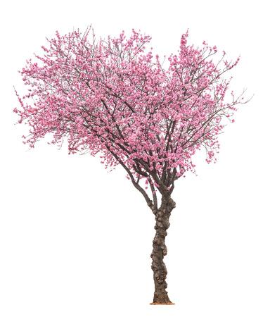 albero della vita: fioritura albero sacura rosa isolato su sfondo bianco