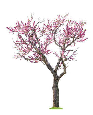 blossoming pink sacura tree isolated on white background Banque d'images
