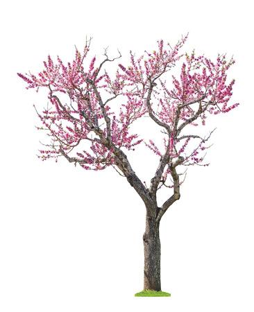 flor de durazno: florecimiento árbol sacura rosa aisladas sobre fondo blanco