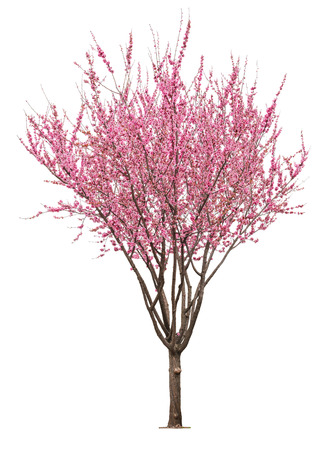 entire flowering sacura tree isolated on white background