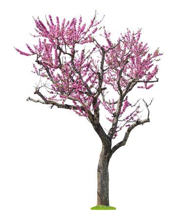 흰색 배경에 고립 된 꽃이 만발한 핑크 sacura 나무