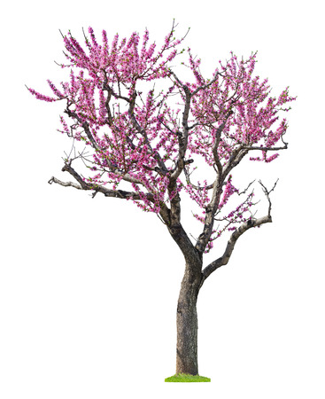 cereza: blossoming pink sacura tree isolated on white background Foto de archivo