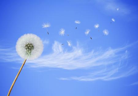ふわふわタンポポの種子、青い空を背景に吹くと花します。 写真素材
