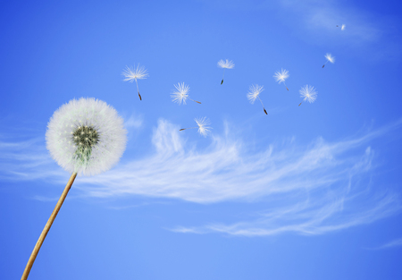 dandelion wind: fluffy Dandelion flower with seeds blowing away on a blue sky background